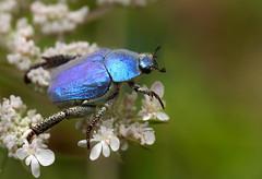 Hoplie bleue (Hoplia coerulea), Meyrueis, Cévennes, France