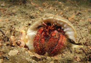 A common-sense common name - Hairy Red Hermit Crab - Dardanus lagopodes #marineexplorer