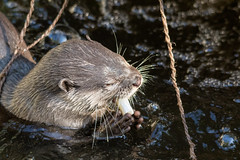 Asian small-clawed river otter