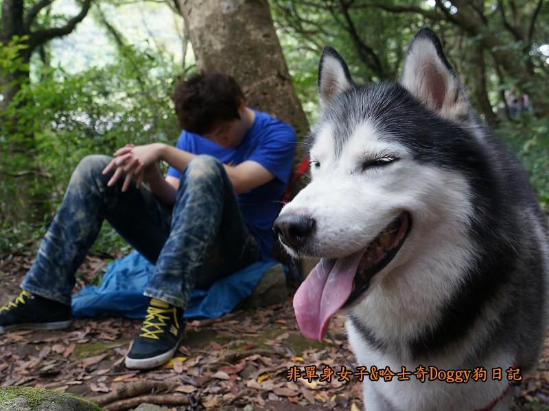 哈士奇Doggy2013陽明山二子坪21
