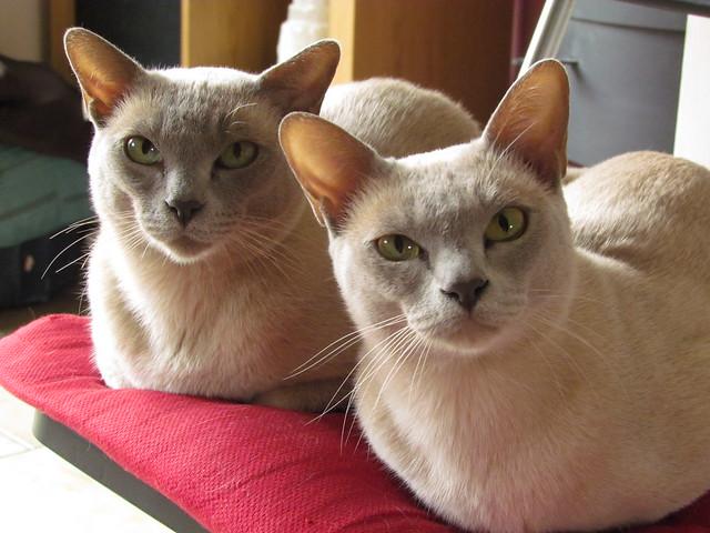 royal canin persian cat food