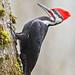 pileated woodpecker (dryocopus pileatus) by punkbirdr