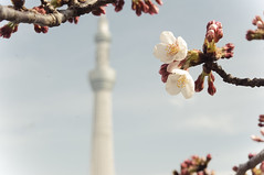 Sakura and Skytree