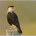 Crested Caracara by BN Singh