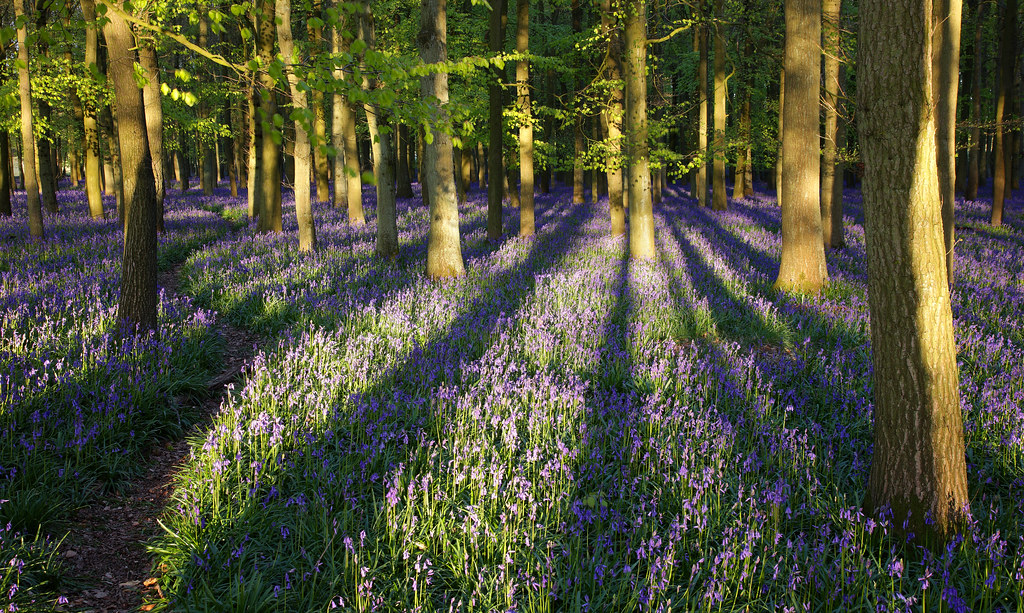 Evening Bluebells at Dockey Wood