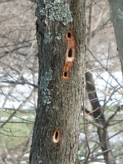 Here be woodpeckers