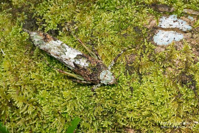 Moss katydid (Tettigoniidae) - DSC_5469