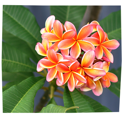Frangipani Orange