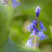 Bluebells by Steve-h