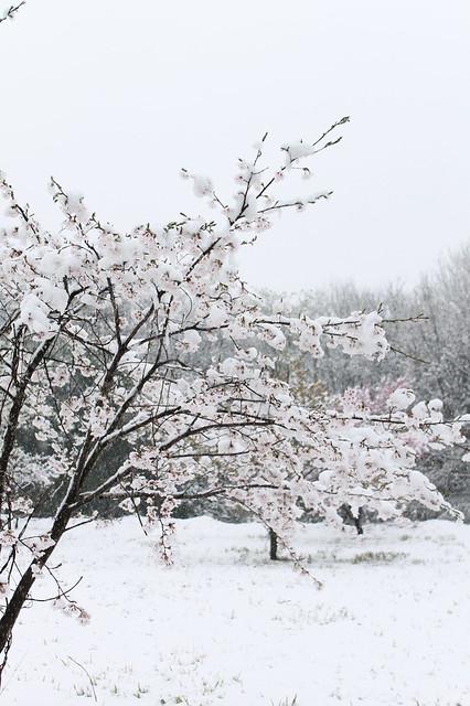 2015雪桜