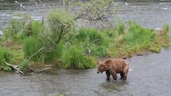 Młody niedźwiedź grizzli