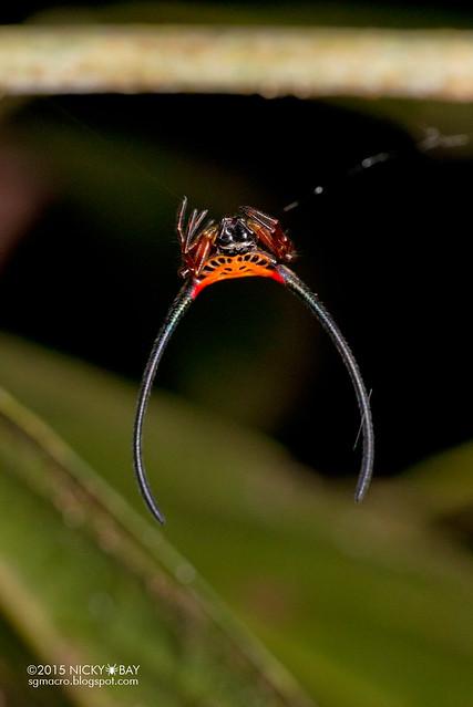 Longhorn orb web spider (Macracantha arcuata) - DSC_5065