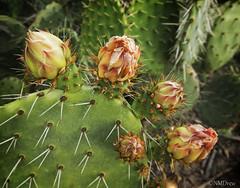 Cacti in Spring