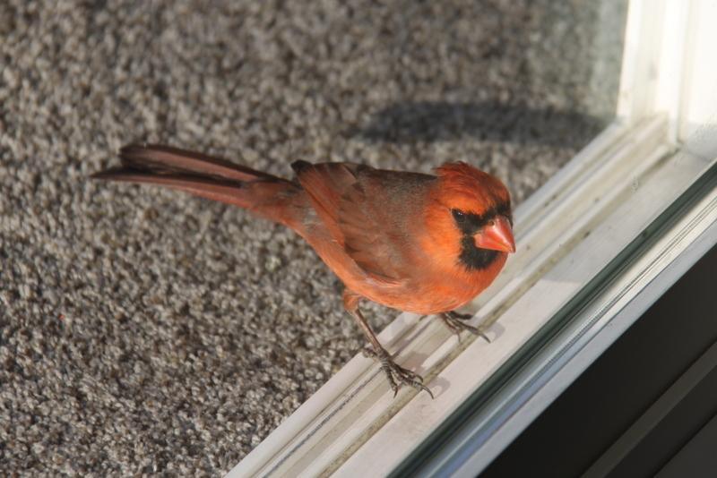 cardinal (3)
