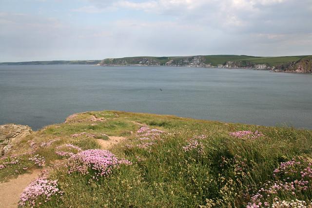 Sea pink on Burgh Island