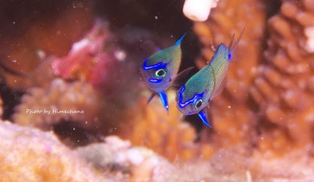 ブルーのラインがかわいい、アマミスズメダイ幼魚