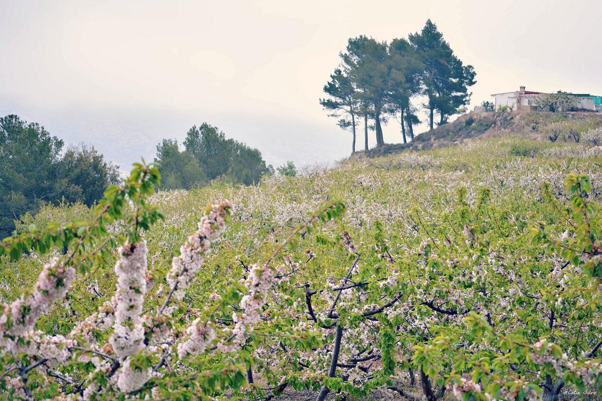 Valle de la Gallinera_Cerezos en Flor (9)