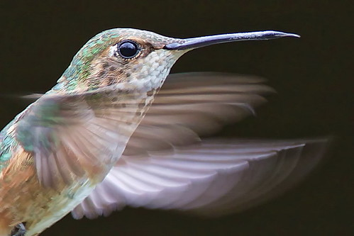 Rufus hummingbird ©