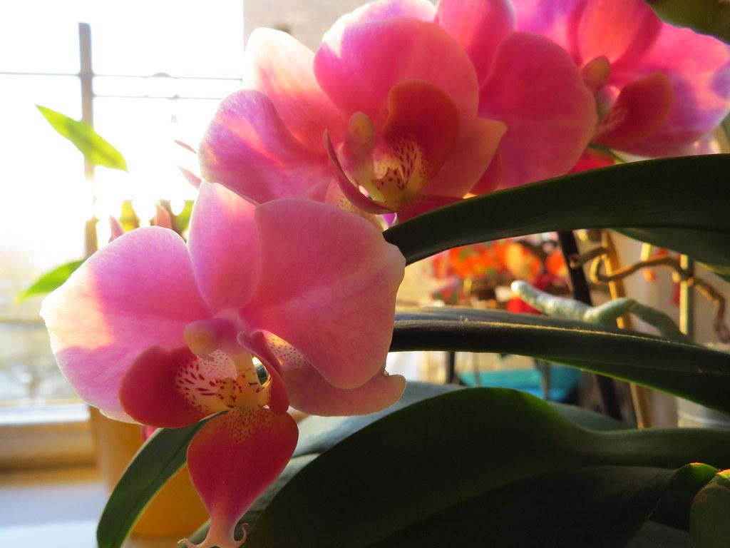 Orchid, Astoria, NY