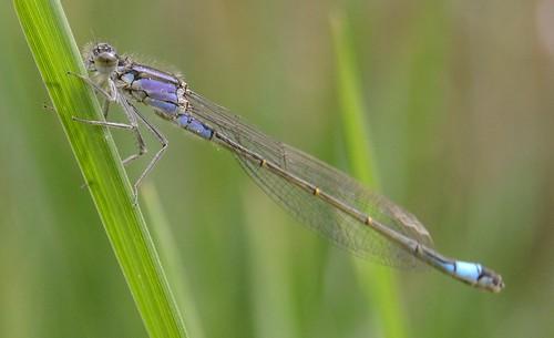 "Große Pechlibelle - Juvenile Female Blue-tailed Damselfly, ""violacea"" Type - Ischnura elegans"