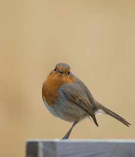 Robin looking