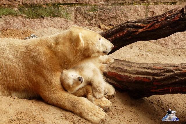 Eisbär Nachwuchs Zoo Rostock 30.03.2015  32
