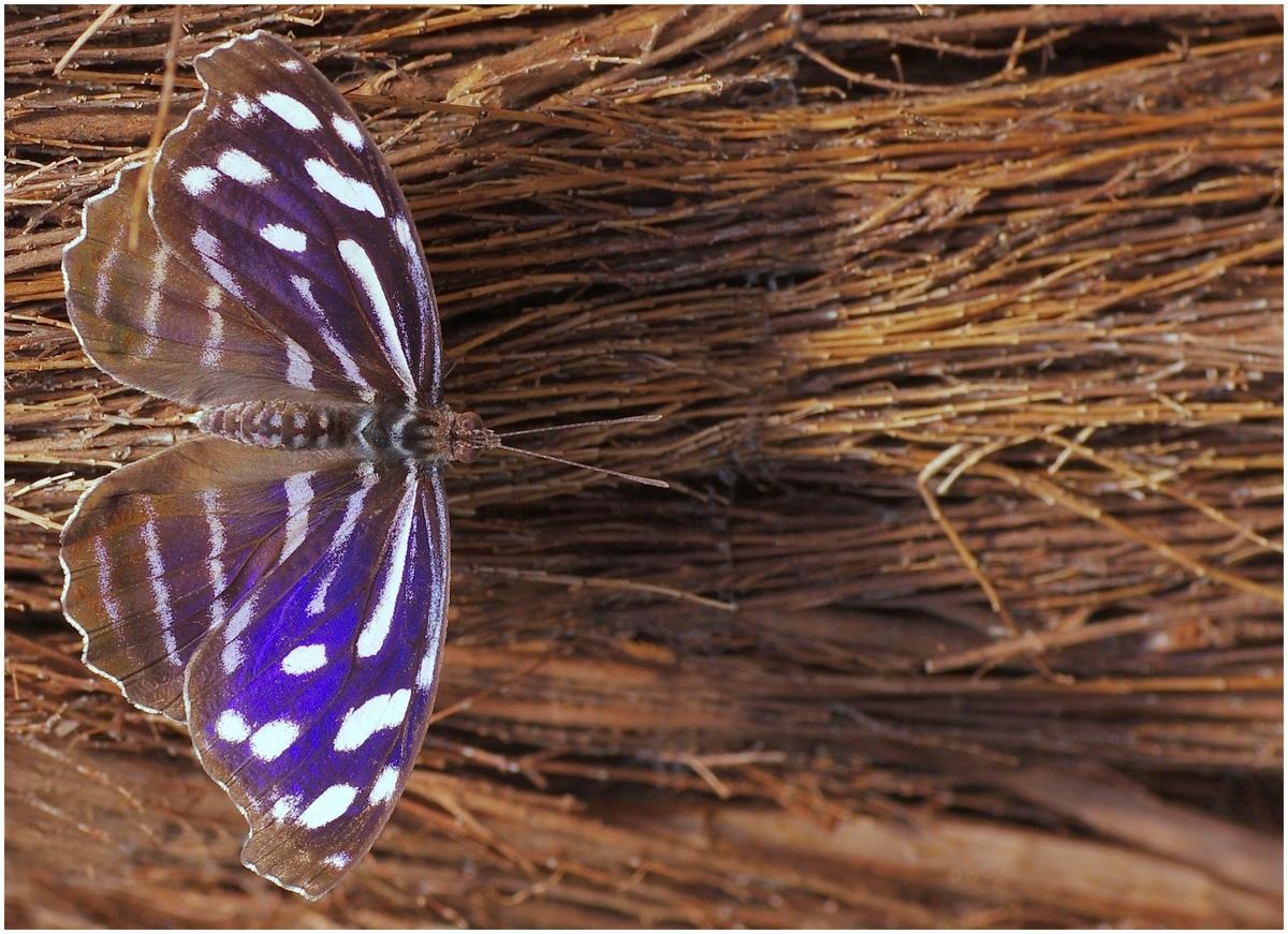 Papillons en Fêtes 2015 16823687058_a5e3462d41_o