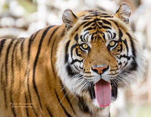 zoo florida miami tiger sumatrantiger tigertemple metrozoo miamimetrozoo berani zoomiami tigersumatran