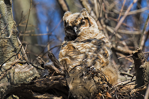 Queens: Great Horned Teenager