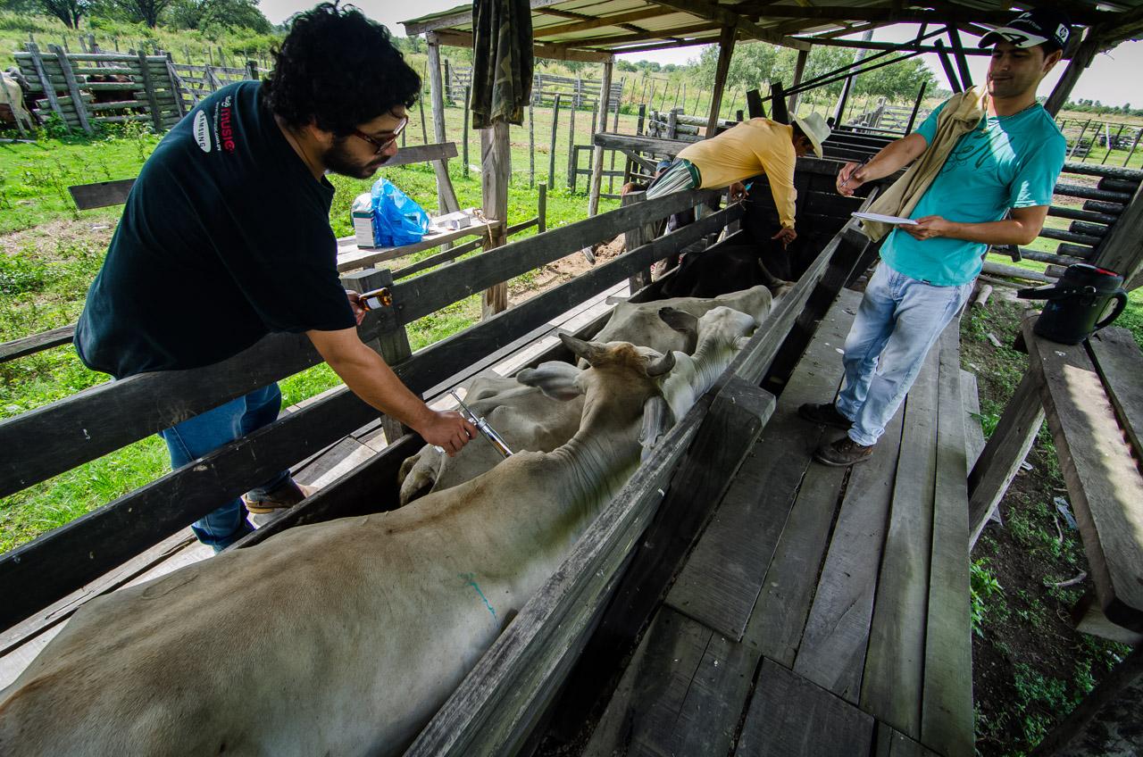 Propietarios y funcionarios de la estancia realizan vacunaciones y censo de los animales un domingo a la mañana, para mantener al ganado en buen estado de salud y calidad de su carne. (Elton Núñez).