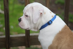dogo argentino(0.0), dog breed(1.0), animal(1.0), dog(1.0), old english bulldog(1.0), british bulldogs(1.0), pet(1.0), olde english bulldogge(1.0), mammal(1.0), white english bulldog(1.0), australian bulldog(1.0), toy bulldog(1.0), american bulldog(1.0), bulldog(1.0),