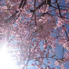 the sun is out🌸 #sakura #osaka #lucua #桜 #大阪 #ルクア