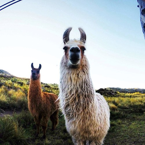 Two male llamas stare at me in anger and confusion. We had separated them from the females in hopes that when we reunite them at a later time some llama baby making will commence. One of the gauchos think they may just be gay. Apparently gay llamas are a