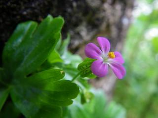 Geranium lucidum - Geranio lucido