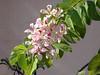 B. monandra I by Karen Blix
