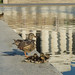 Ducks at the Reflecting Pool