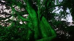 BAOBEIRIO  Árvores brilhando verde Cantando com voz de vento Cigarras, silvos, silêncio.  #baoba #parquecapibaribe #haikai #poema #poesiadoacaso #sonoridades #jardimdobaobá #diariodepernambuco