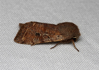 Orthosia hibisci (Speckled Green Fruitworm Moth) Hodges # 10495