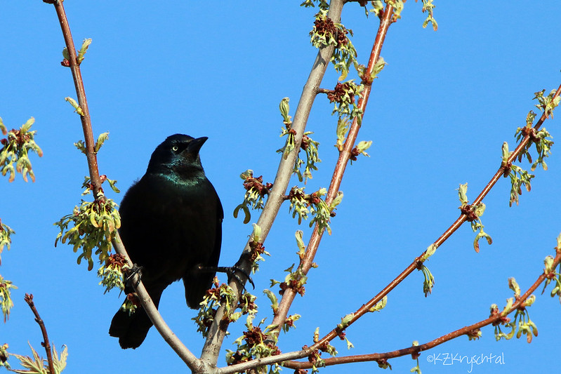 IMG_1273CommonGrackle