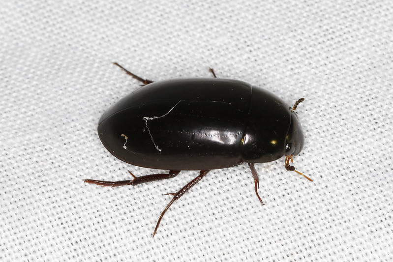 Maryland Biodiversity Project - Giant Black Water Beetle ...