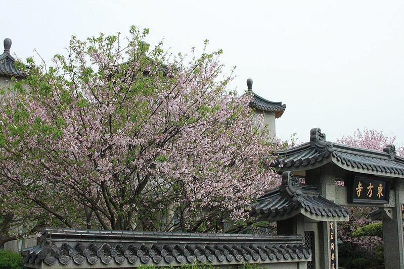 17度C在地景點春季推薦-東方室-櫻花 (18)