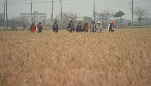 彰化大城的小麥收割季