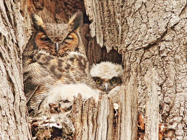Great Horned Owl 2 of 3 owlets 20150422