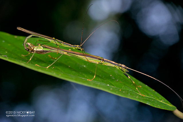 Stick insects (Phasmatodea) - DSC_4979