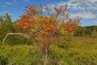 Cyrtopodium punctatum, Salt Marsh, Everglades National Park, Monroe County, Florida 3