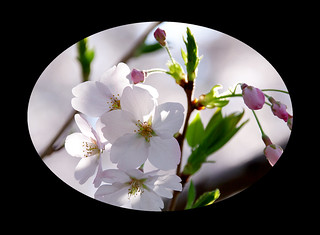 A piece of cherry blossoms