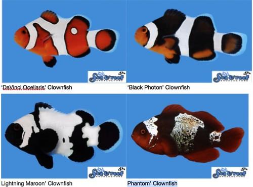 實驗室培育出各式各樣的小丑魚。