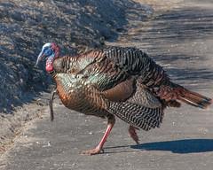 pheasant(0.0), turkey(1.0), animal(1.0), wing(1.0), fauna(1.0), fowl(1.0), wild turkey(1.0), domesticated turkey(1.0), beak(1.0), bird(1.0), galliformes(1.0), wildlife(1.0),