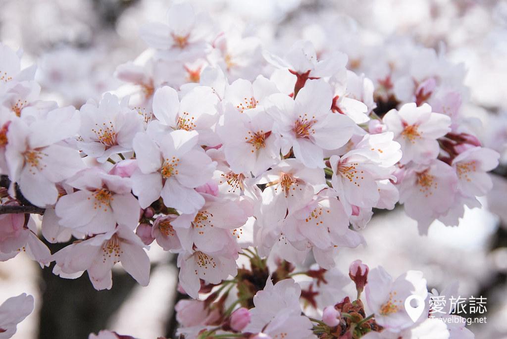 京都赏樱景点 哲学之道 31