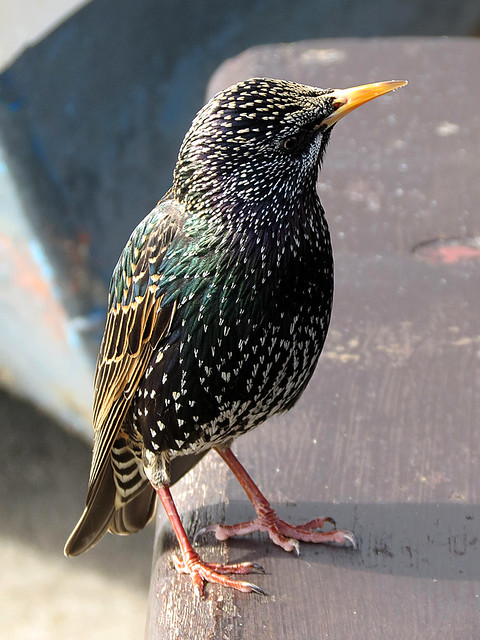 st. ives starling